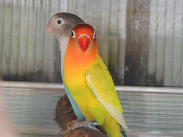 papoušci na bydýlku