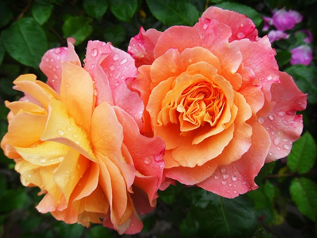 mokré růže