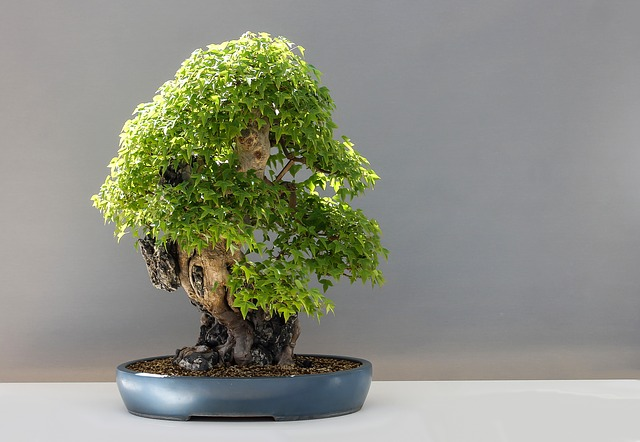 maple bonsaj
